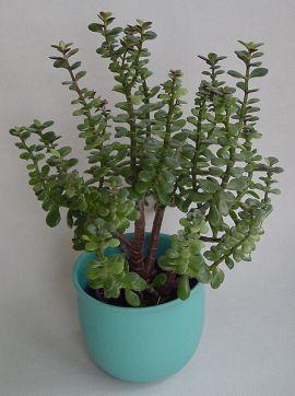 plant_jade